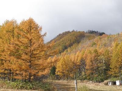 唐松の紅葉